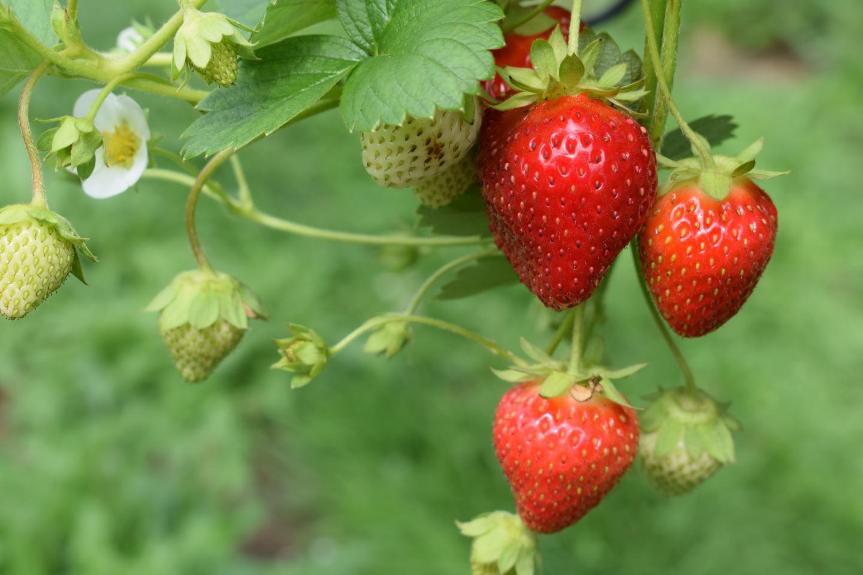 Les fraises du village